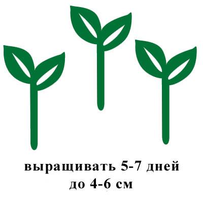 выращивать 5-7 дней до 4-6 см.jpg